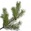 Twig of evergreen fir on white — Stock fotografie