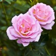 Pink and orange rose in garden — Stock Photo #14932551