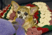 Chihuahua on sofa — Stock Photo