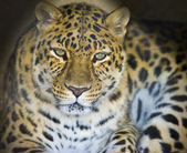 Leopard portrait isolated on a black background. — Stock Photo