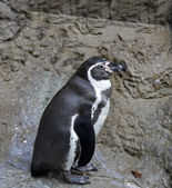 Penguin standing on rocks — Stock Photo