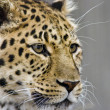 Leopard close up - Stock Photo