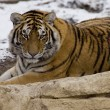 Tiger close up in the snow — Foto de Stock