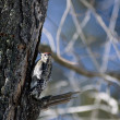 Woodpecker on a tree trunk - Stock Photo