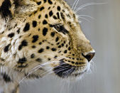 Leopard close up — Stock Photo