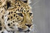 Leopard close up — Stock Photo
