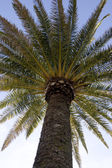 Tropical palm tree — Stock Photo