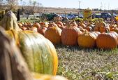 Pumpkin patch on a farm — Stock Photo