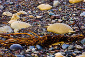 Close up of rounded and polished beach rocks and kelp — Stock Photo