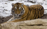 Tiger close up in the snow — Stock Photo