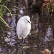 Snowy egret — Stock Photo #19748775