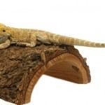 Iguana isolated in white background — Stock Photo #19749049