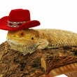 Iguana in hat isolated in white background - Stock Photo