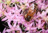 Bee on a pink flower — Stock Photo