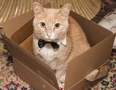 Cat with a bow tie — Stock Photo