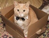 Gatto con una cravatta a farfalla — Foto Stock