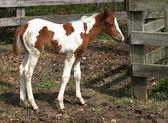 Foal staring at camera — Stock Photo
