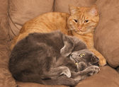 Ginger and gray cats — Stock Photo