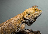 Iguana with insects — Stock Photo