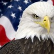 Stock Photo: Bald eagle with americflag