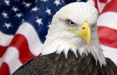 Bald eagle with american flag — Stok fotoğraf