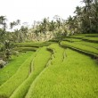 Rices terraces growing ubud bali — Stock Photo