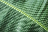 Tropical banana leaf background — Stock Photo