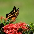 Swallow Tail  Btterfliy — Stock Photo