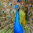 Peacock — Stock Photo #26395383