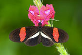 Red Postman (Heliconius erato) — Stock Photo