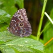 Blue Morpho — Stock Photo #38679645