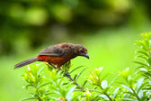 Crimson-backed Tanager (Ramphocelus dimidiatus) Female — Stock Photo