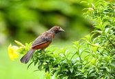 Crimson-backed Tanager (Ramphocelus dimidiatus) Female — Stock Photo