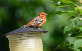 Flame-colored Tanager — Stock Photo