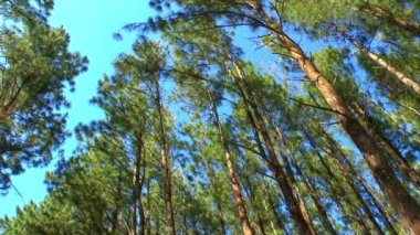 Huge pine trees from a low angle — ストックビデオ
