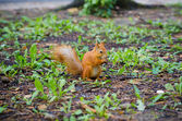 Sweet squirrel to hold nut at forest. animal wildlife — Stock Photo