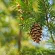 One open brown cone of green spruce. Forest backgrounds — Stock Photo #26807361