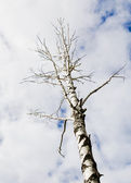 One bare autumn birch on a blue clouds sky backgrounds — Stock Photo