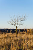 One bare tree on a clear blue sky background — Stock Photo