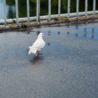 Carrier pigeon walk on bridge — Stock Photo
