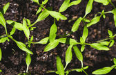 Tomato seedling. new green seedlings — Stockfoto