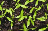 Plántulas de tomate. nuevas plántulas verdes — Foto de Stock