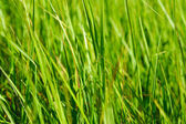 Green grass in sun summer sunlight on blur backgrounds — Stock Photo