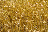 Cereals field backgrounds of wheat — Stock Photo