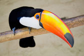 Toucan bird — Stock Photo