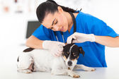 Veterinarian examining pet dog ear — Stock Photo