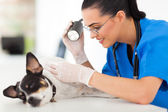 Professional vet doctor examining pet dog skin — Stock Photo