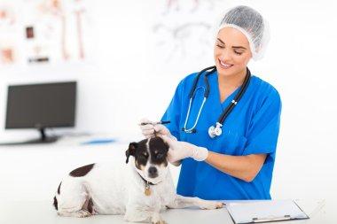 Veterinary doctor checking dog