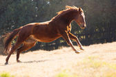 Horse running on the field — Stock Photo