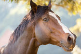 Purebred racing horse — Stock Photo